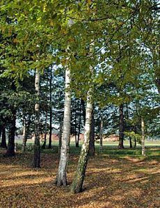Birch trees at Auschwitz-Birkenau, 2005