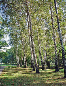 Birch tree grove at western end of Auschwitz II camp