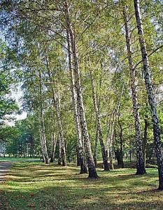 Birch tree grove at western end of Auschwitz II camp
