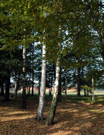 My photo of the birch trees at Birkenau